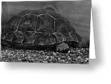 Galapagos Tortoise Baby Greeting Card