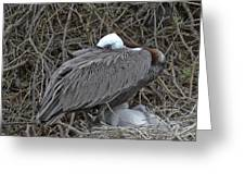 Galapagos - Watchful Pelican Greeting Card