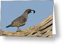 Gambels Quail Male Santa Rita Mts Greeting Card