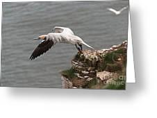 Gannet Take Off Greeting Card