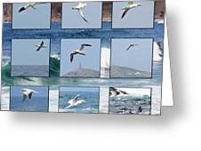 Gannets Galore Greeting Card