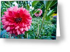 Garden Dahlia Greeting Card