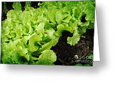 Garden Fresh Baby Lettuce And Lady Bug Greeting Card