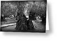 Garden Of Gethsemane Olive Tree Greeting Card