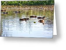 Gathering - Mallars Ducks In Creek Enkopingsaan  Greeting Card