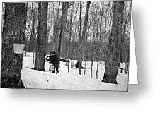 Gathering Sap, C1900 Greeting Card