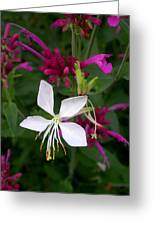 Gaura Lindheimeri Whirling Butterflies With Agastache Ava Greeting Card