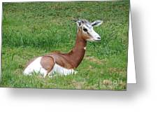 Gazelle At Rest 1 Greeting Card