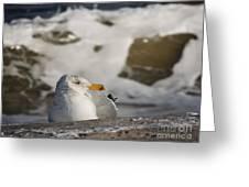 Gazing Gull Greeting Card