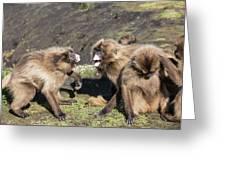 Gelada Baboons Threat Display Greeting Card