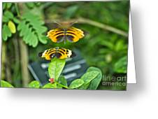 Gentle Butterfly Courtship 01 Greeting Card