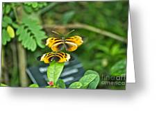Gentle Butterfly Courtship 02 Greeting Card