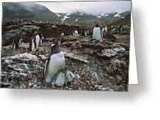 Gentoo Penguin And Chicks South Georgia Greeting Card