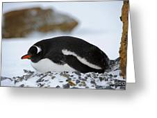 Gentoo Penguin On Nest Greeting Card