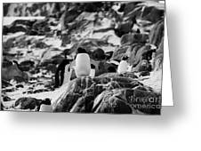 Gentoo Penguin On Rocky Landscape On Port Lockroy Antarctica Greeting Card