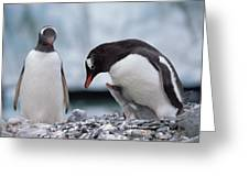Gentoo Penguin With Chick Begging Greeting Card