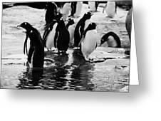 Gentoo Penguins On Rocky Shoreline On Port Lockroy Antarctica Greeting Card