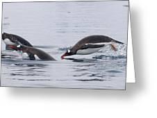 Gentoo Penguins Porpoising Paradise Bay Greeting Card