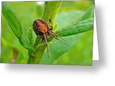 Genus Araneus Orb Weaver Spider - Brown And Orange Greeting Card