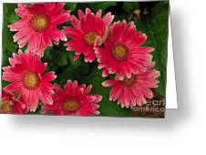 Gerber Daisies Cluster Greeting Card