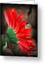 Gerber Daisy Bashful Red Greeting Card