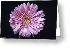 Gerber Daisy Flower Greeting Card