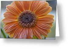 Gerbera Daisy Covered In Frost Greeting Card