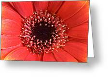 Gerbera Daisy Flower IIi Greeting Card by Natalie Kinnear