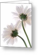Gerbera Daisy II Greeting Card