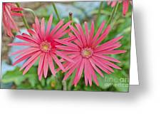Gerbera Jamesonii / Pink Daisy Flowers Greeting Card