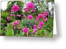 German Catchfly Pink Greeting Card