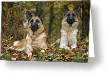 German Shepherd Dogs Greeting Card