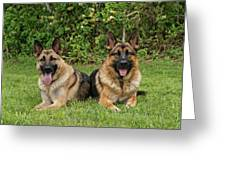 German Shepherds - Mother And Son Greeting Card