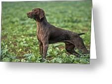German Short-haired Pointer Greeting Card