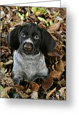 German Wire-haired Pointer Puppy Greeting Card