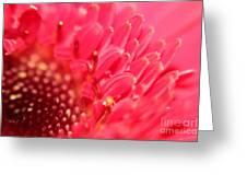 Germini Daisy Greeting Card