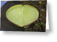 Giant Amazonian Water Lily Pads Closeup Greeting Card