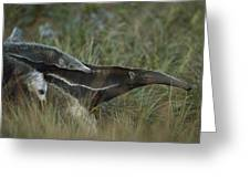Giant Anteater And  Young In Cerrado Greeting Card