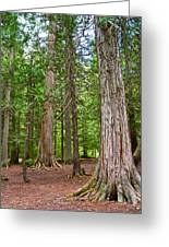 Giant Cedars On Trail Of The Cedars In Glacier Np-mt Greeting Card