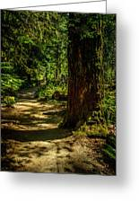 Giant Douglas Fir Trees Collection 2 Greeting Card