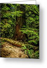Giant Douglas Fir Trees Collection 3 Greeting Card