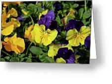 Giant Garden Pansies Greeting Card
