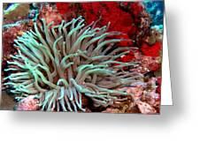 Giant Green Sea Anemone Against Red Coral Greeting Card