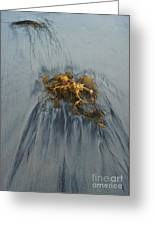 Giant Kelp On The Beach Greeting Card