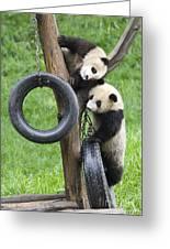 Giant Panda Cubs Greeting Card