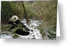 Giant Panda Eating Bamboo Wolong China Greeting Card