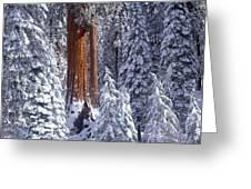 Giant Sequoia Trees Sequoiadendron Greeting Card