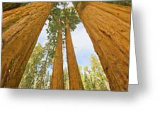Giant Sequoias And First Snow Greeting Card by Yva Momatiuk John Eastcott