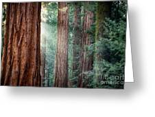 Giant Sequoias In Early Morning Light Greeting Card