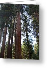 Giant Sequoias - Yosemite Park Greeting Card